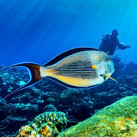 pinstriped angelfish by Peter Schoeman - Animals Fish ( diver, pinstriped, travel, angelfish, diving )