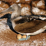 Blue-Footed Bobby Nesting with Eggs