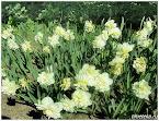 Нарциссы цветут