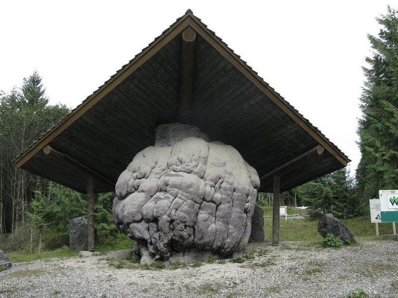 second-largest-burl-port-mcneill-2