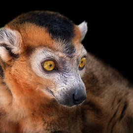 Red Lemur by Shawn Thomas - Animals Other Mammals