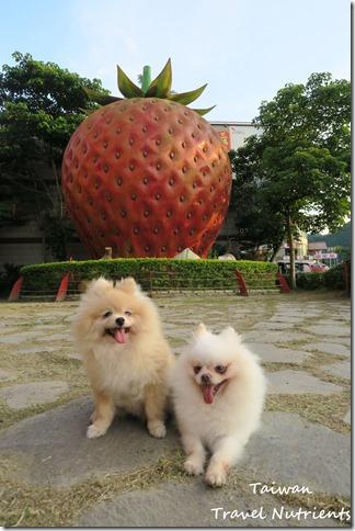 大湖草莓 (45)