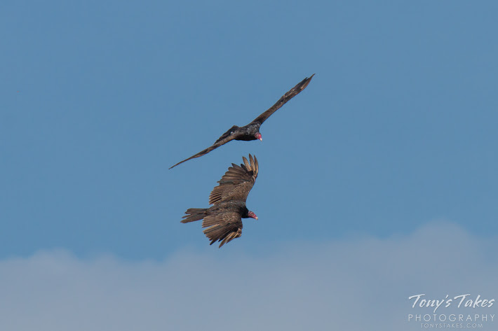 Two Turkey Vultures perform a flyby. While their faces may not be pretty, these large birds are beautiful in flight. (© Tony's Takes)