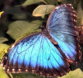 Mariposa celeste