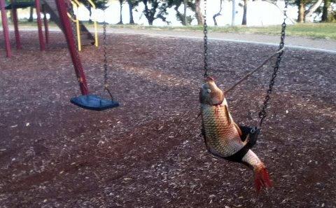 swinging carp