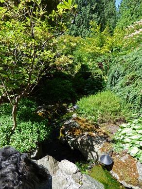 Skruffy Checking Out Japanese Garden, Butchart Gardens