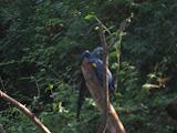 The Hyacinth Macaws at the Nashville Zoo 09032011b