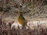 Cape longclaw (photo by Clare) - a lot like our eastern and western meadowlarks, but more colorful!