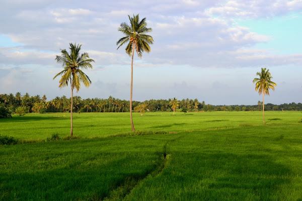 Пальмы в зеленом поле, Шри Ланка