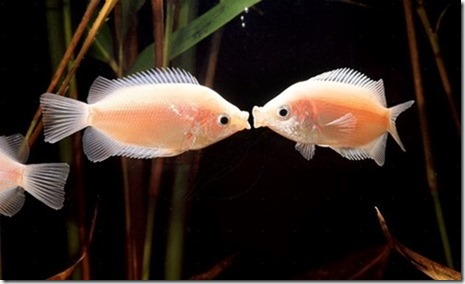 be-ca-canh-kissing_gourami_camui_cahuong003-be-thuy-sinh