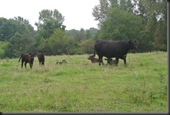 The Grandmother Cow with all of the young ones.