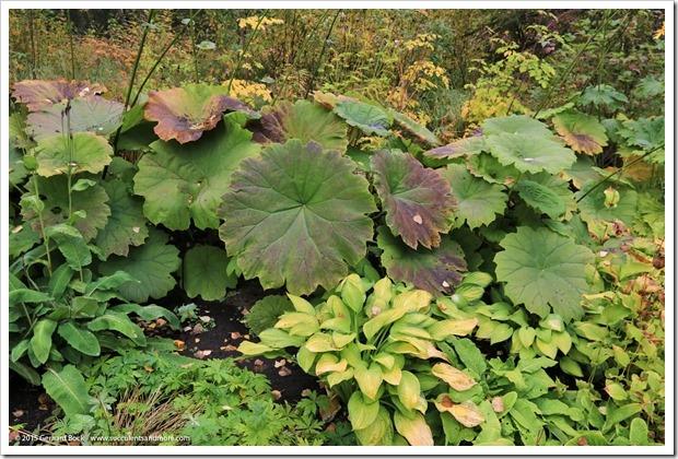 150911_AlaskaBG_Astilboides-tabularis