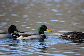 Beautiful Mallards