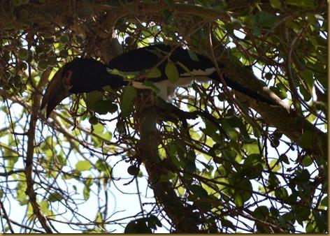 Trumpeter hornbill, Bushbuck Lodge, Zambia