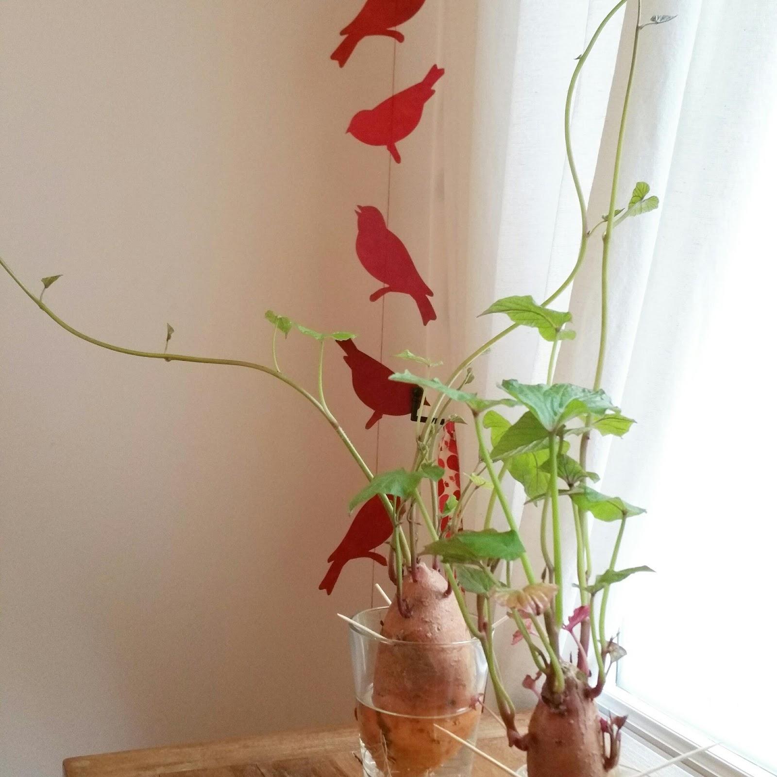 les petites m ma patate douce transform e en plante verte. Black Bedroom Furniture Sets. Home Design Ideas