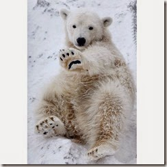 polar-bear-cubs_1780713i