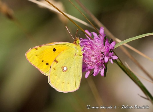 30_Colias crocera_Cainallo-Bietti-003 (FILEminimizer)