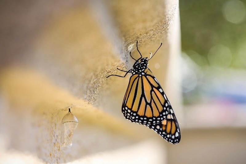 emerging monarchs-12