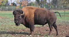 Gramat bison d'Amérique