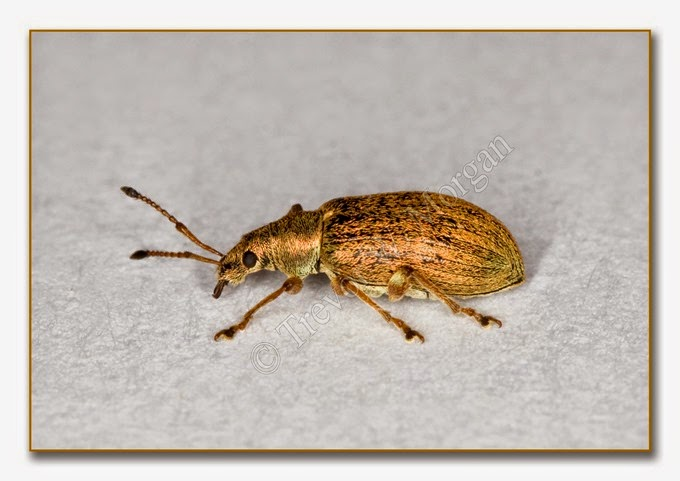 Weevil - Common Leaf  3