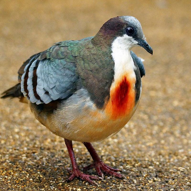 Luzon Bleeding-Heart: A Dove That Looks Shot Through the Heart