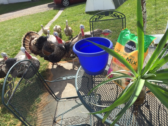 Sweetgrass turkeys oversee potting up a pineapple