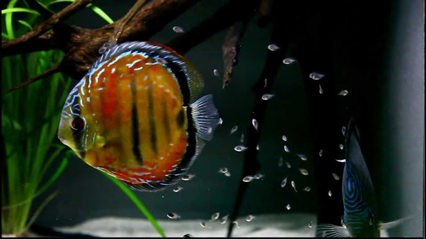 Image of Discus fry with their parents