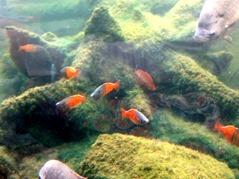 201506.21-022 poissons arc-en-ciel