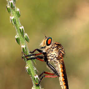 ROBBER FLY by Arif Otto - Animals Insects & Spiders