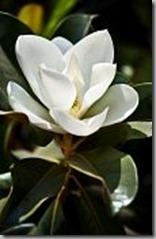 7384725-magnolia-flower