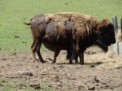 201506.21-062 bisonne et son petit