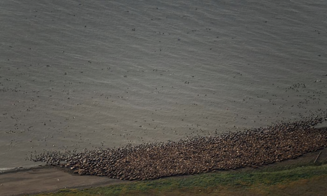 Aerial photograph of thousands of Pacific walrus coming ashore near Point Lay, on the north-west Arctic coast of Alaska, on 23 August 2015. Photo: Gary Braasch / Corbis