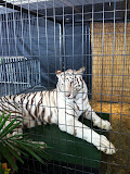A white tiger at Navy Pier Park in Chicago 01152012e