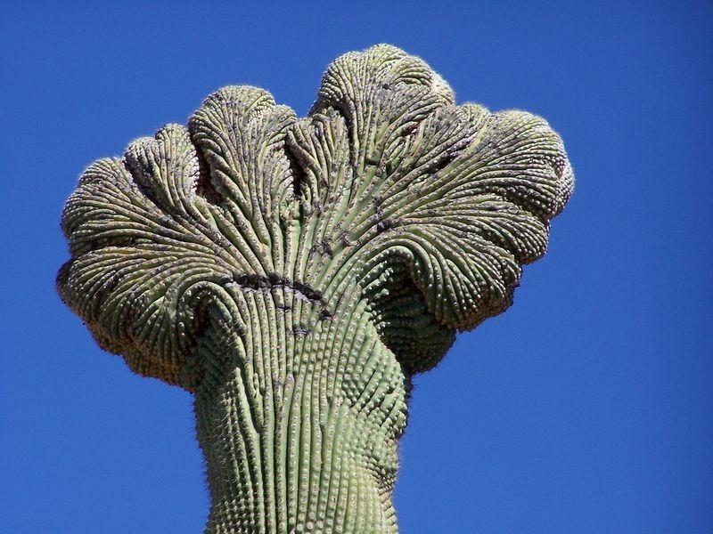 crested-saguaros-5