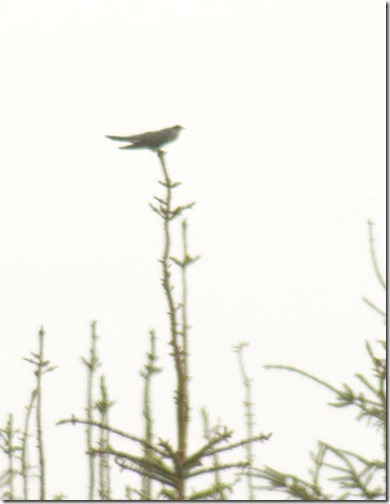 11-cuckoo