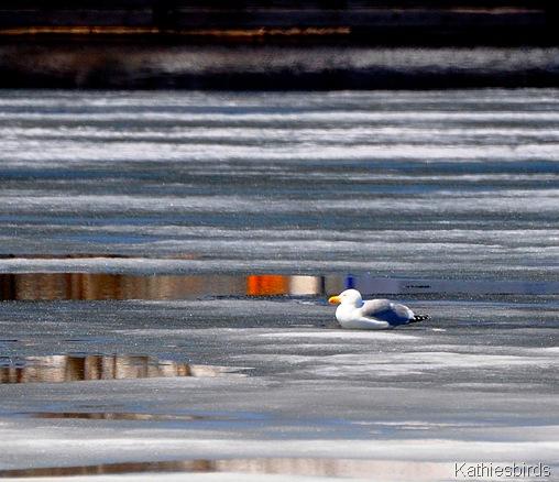 20. gull on ice-kab