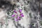 Santa Catalina Prairie Clover (Dalea pulchra) Sabino Canyon, Tucson 5/1 - Richard Derr