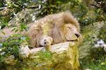 Zoo de Beauval - Lion