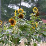 Sonnenblumen / Подсолнухи