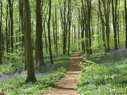 Wood-bluebells
