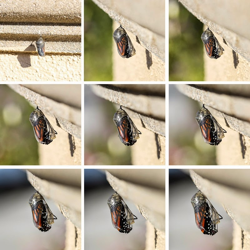 emerging monarchs-6