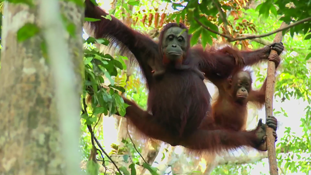 Orang-utans living in Kalimantan forest. Photo: Greenpeace