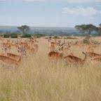 Ugandagrasantilopen (Kobs) in Ishasha, Queen Elizabeth Nationalpark © Foto: Marco Penzel   Outback Africa