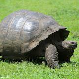 Mais tartarugas gigantes - San Cristobal, Galápagos