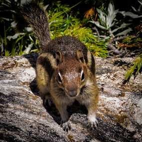 Hungry Ground Squirrel by Del Candler - Animals Other Mammals ( colorado, ground, manteled, boulder, pine, squirrel, golden,  )
