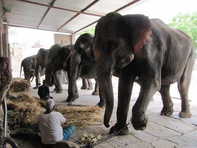 Jaipur elephants
