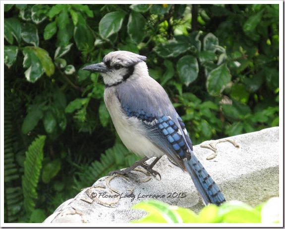 06-11-blue-jay-baby7