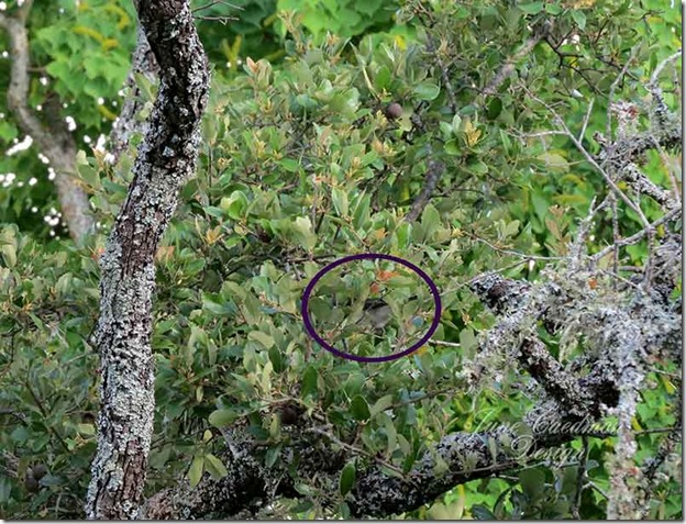 Mockingbird_entering_nest