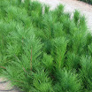 2-2 red pine.jpg