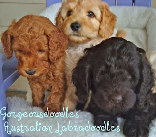 Gorgeousdoodles labradoodle puppies.